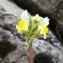 Alain Bigou - Linaria supina subsp. pyrenaica (DC.) Nyman [1881]