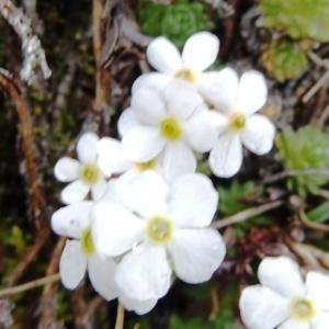 Photographie n°1970549 du taxon Androsace villosa L. [1753]