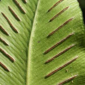 Photographie n°1971231 du taxon Asplenium scolopendrium L. [1753]
