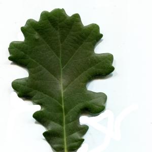 Photographie n°1972032 du taxon Quercus pubescens Willd. [1805]
