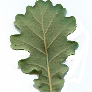 Photographie n°1972065 du taxon Quercus pubescens Willd. [1805]