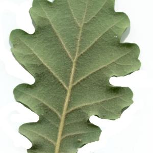 Photographie n°1972074 du taxon Quercus pubescens Willd. [1805]