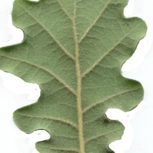 Photographie n°1972099 du taxon Quercus pubescens Willd. [1805]