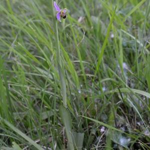 Photographie n°1973730 du taxon Ophrys apifera Huds. [1762]