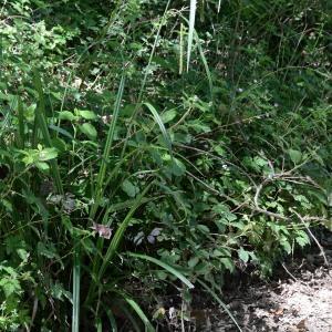 Photographie n°1973780 du taxon Carex pendula Huds.