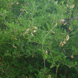 - Colutea arborescens subsp. gallica Browicz