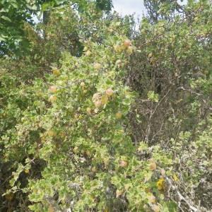 Photographie n°1979094 du taxon Ribes uva-crispa L. [1753]