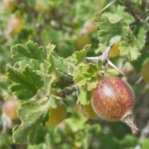 Photographie n°1979095 du taxon Ribes uva-crispa L. [1753]