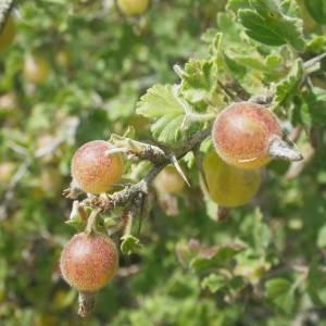 Photographie n°1979096 du taxon Ribes uva-crispa L. [1753]