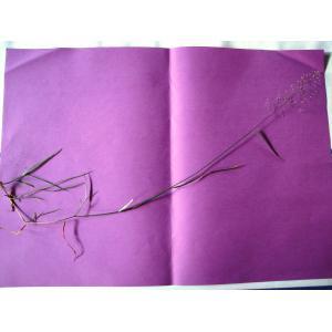 Agrostis x murbeckii Fouill. (Agrostide de Murbeck)