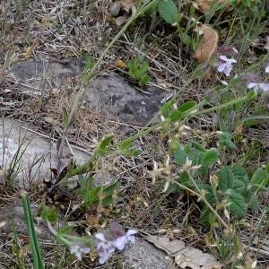 Photographie n°1981870 du taxon Silene gallica L. [1753]