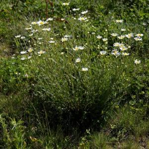 Photographie n°1981892 du taxon Leucanthemum vulgare Lam. [1779]