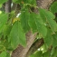 Liliane Roubaudi - Prunus domestica L. [1753]