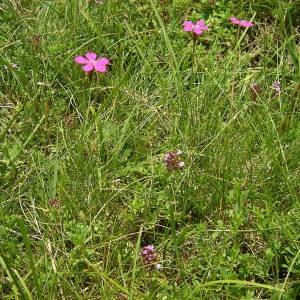 - Dianthus deltoides L.