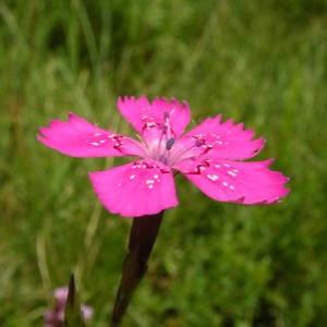 - Dianthus deltoides L. [1753]