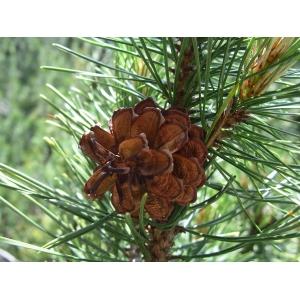 Pinus mugo Turra subsp. mugo (Pin de montagne)