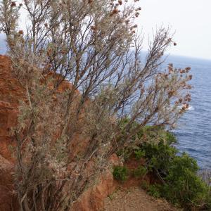 Photographie n°1983920 du taxon Anthyllis barba-jovis L.