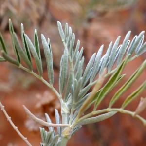 Photographie n°1983939 du taxon Anthyllis barba-jovis L.
