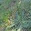 Senecio vulgaris L. [nn63096] par environat le 21/06/2017 - Saint-Valery-en-Caux