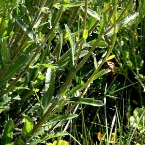 Photographie n°1985462 du taxon Leucanthemum vulgare Lam. [1779]