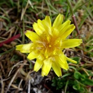 Photographie n°1985531 du taxon Taraxacum erythrospermum Andrz. ex Besser [1821]