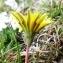 Alain Bigou - Taraxacum erythrospermum Andrz. ex Besser