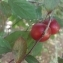 Louis BUCHALET - Prunus cerasifera Ehrh.