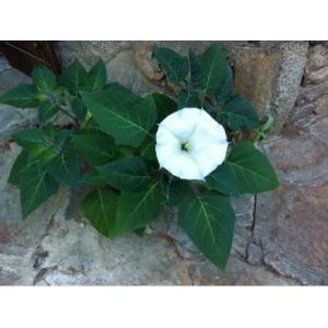 Datura innoxia Mill. (Stramoine à grandes fleurs)