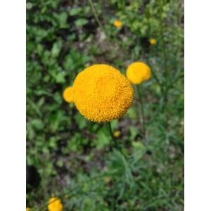 Leucanthemum virgatum (Desr.) Clos (Marguerite en forme de baguette)