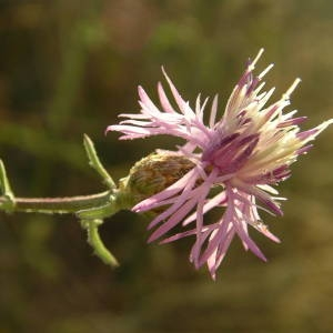 Photographie n°2001083 du taxon Centaurea paniculata L. [1753]