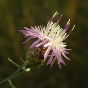 Photographie n°2001086 du taxon Centaurea paniculata L. [1753]
