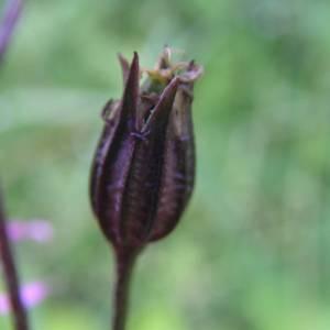 Photographie n°2001303 du taxon Lychnis flos-cuculi L. [1753]