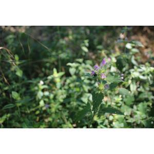 Galeopsis sp.