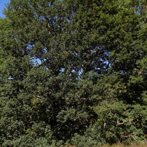 Photographie n°2003554 du taxon Quercus robur L. [1753]