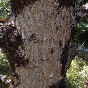 Photographie n°2003619 du taxon Quercus robur L. [1753]
