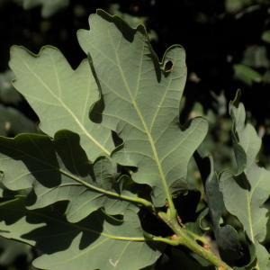 Photographie n°2003626 du taxon Quercus robur L. [1753]