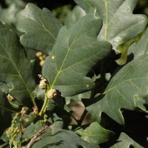 Photographie n°2003635 du taxon Quercus robur L. [1753]