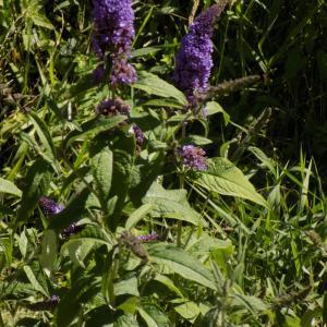 Photographie n°2004342 du taxon Buddleja davidii Franch. [1887]