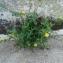 Laiteron maraîcher [nn65205] par jl.malley@... le 05/06/2017 - Saint-Georges-de-Didonne