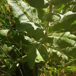 Photographie n°2010722 du taxon Verbascum pulverulentum Vill.