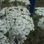 Achillea crithmifolia Waldst. & Kit. [nn320] par Claude MAU le 06/07/2017 - Tourlaville