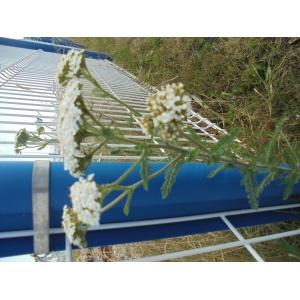 Achillea crithmifolia Waldst. & Kit. (Achillée à feuilles de criste marine)