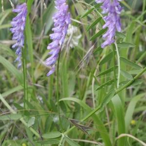 Photographie n°2011615 du taxon Vicia cracca L. [1753]