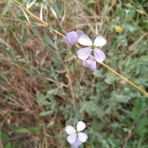 Photographie n°2015171 du taxon Lunaria annua L. [1753]