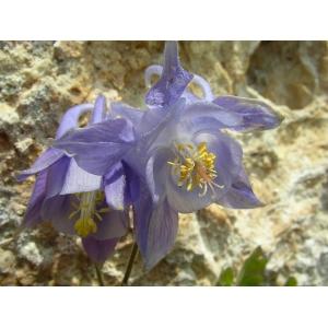 Aquilegia viscosa Gouan (Ancolie des Causses)