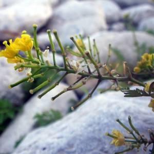 Photographie n°2016469 du taxon Rorippa sylvestris (L.) Besser