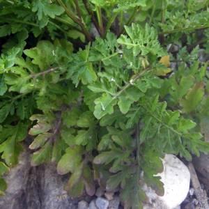 Photographie n°2016474 du taxon Rorippa sylvestris (L.) Besser