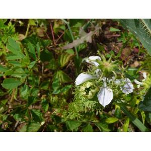 Nigella hispanica L. var. hispanica