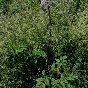 Photographie n°2023265 du taxon Angelica sylvestris L. [1753]