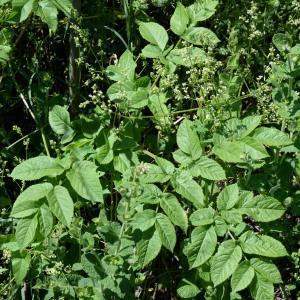 Photographie n°2023274 du taxon Angelica sylvestris L. [1753]